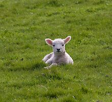 Exmoor`s New Born Lamb by David-J