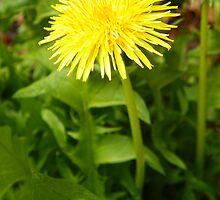 Dandelion Sunshine by MishaLouise91