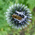 Whizz! Hoverfly on blossom. by armadillozenith