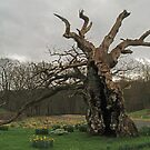 The Laund Oak by WatscapePhoto