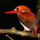 Madagascar Pygmy Kingfisher by Robbie Labanowski