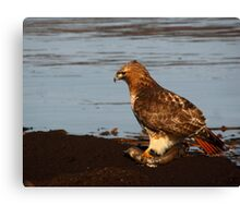 Red-tailed Hawk Eating Fast Food Canvas Print