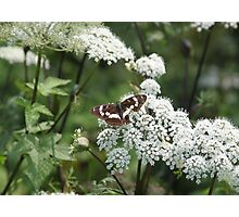 Butterfly And White Flowers Photographic Print