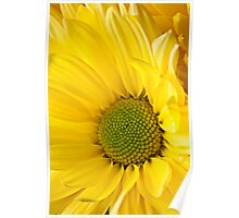 Close Up of Yellow Mum Poster