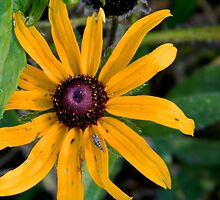 Wild Rudbeckia........and friend by flowers2love