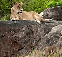 Lioness by Gronde Photography