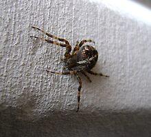 Araneus diadematus female (garden orb-weaver spider)  by armadillozenith