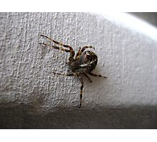 Araneus diadematus female (garden orb-weaver spider)  Photographic Print