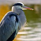 Grey Heron by HelenBeresford