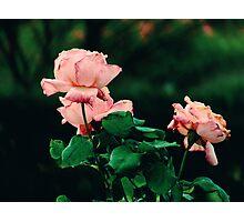 Pétalos rosa Photographic Print