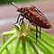 (Insects, Spiders & Other Category) - Order - Hemiptera - True Bugs