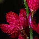 Dewy Petals by sprucedimages