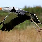Secretary Bird in Flight by Mark Hughes