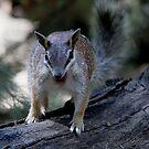 Endangered Numbat by EnviroKey
