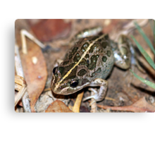 Spotted Marsh Frog Canvas Print