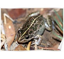 Spotted Marsh Frog Poster