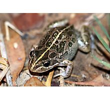 Spotted Marsh Frog Photographic Print