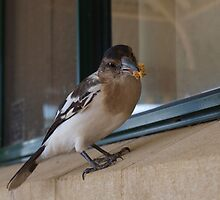 Cracticus nigrogularis - Pied butcherbird by 3Cavaliers