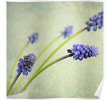 Hyacinth Grape Poster
