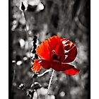 red poppy (papaver rhoeas) greeting card by Steve Crompton