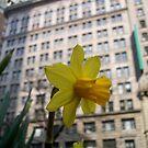 Narcissus in Manhattan by Nella Khanis
