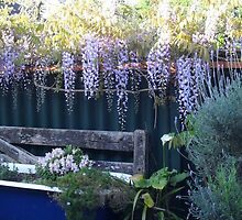 weisteria over the  farm gate by chrissy mitchell