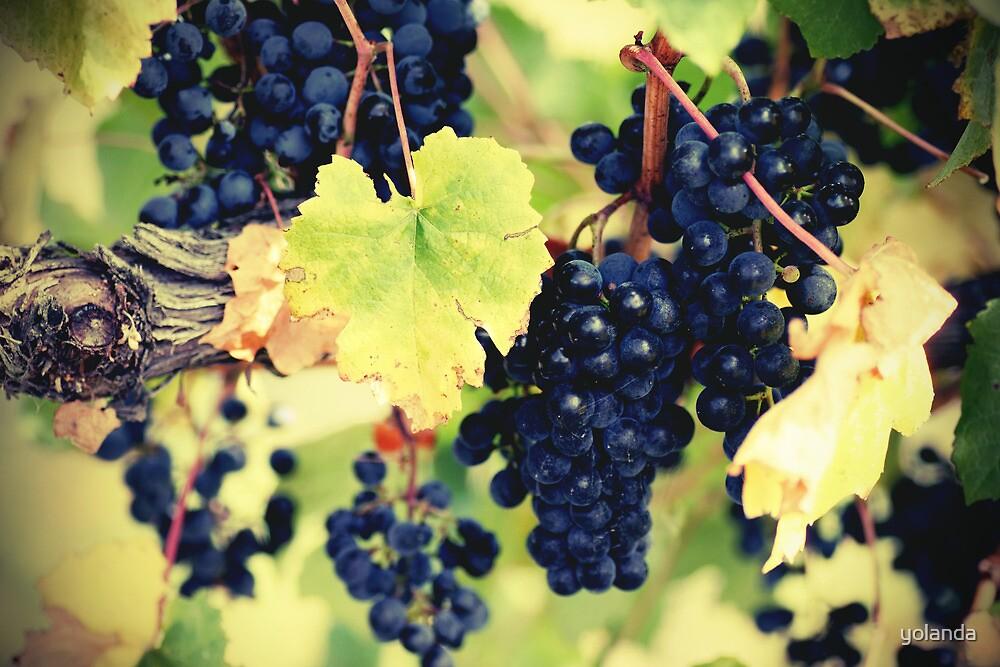 Red on Vine by yolanda