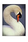 Mute swan (cygnus olor) greetings card by Steve Crompton