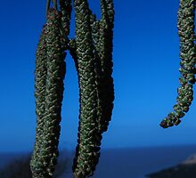 Catkins in Blue by Heather Goodwin
