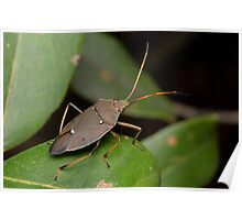 Two-spotted Gum Tree Shield Bug - Poecilometis parilis Poster