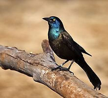 Grackle by Jim Cumming