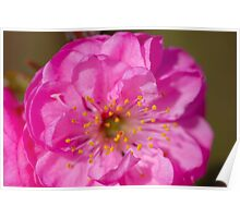 Almond Blossoms II Poster