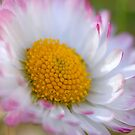 Daisy  by vbk70