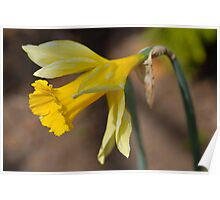 Daffodil - Narcissus jonquilla Poster