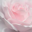 rose powder pink by photofairy