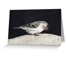 April Hoary / Uncommon Redpoll Greeting Card