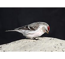 April Hoary / Uncommon Redpoll Photographic Print