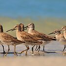 Red Knots and Dowitchers! by Kathy Cline