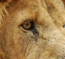 Lion's Eye View by sjlphotography