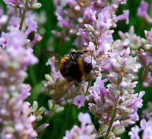 Hungry Bumblebee by sjlphotography