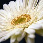 White Gerbera by sjlphotography