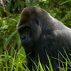 Serious Gorilla by Mark Tomlinson