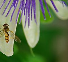Hover Fly Passion by sjlphotography