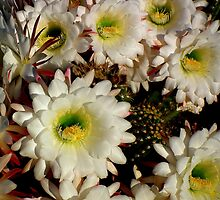 CACTUS FLOWERS by freddyV