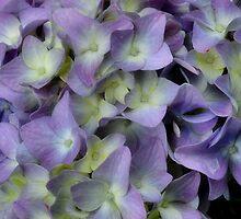 Purple Hydrangea Flowerhead by LynnRoebuck
