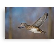 Flight of the Female Wood Duck Canvas Print