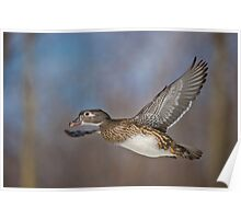 Flight of the Female Wood Duck Poster