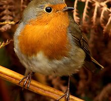 Mr Red Breast by Mark Hughes