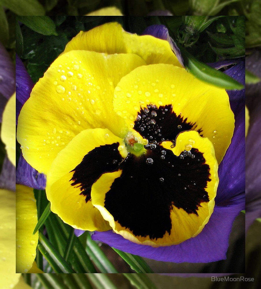 Sleeping Beauty - A Yellow Blotch Pansy for Carol by BlueMoonRose