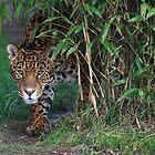 Male Leopard by Franco De Luca Calce